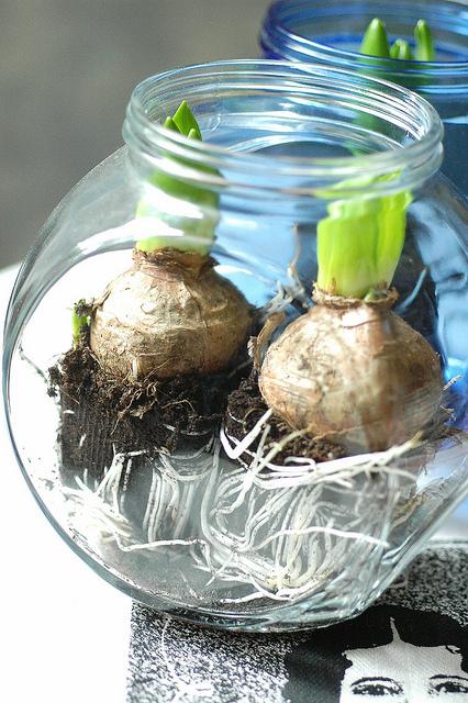 I bulbi in vaso