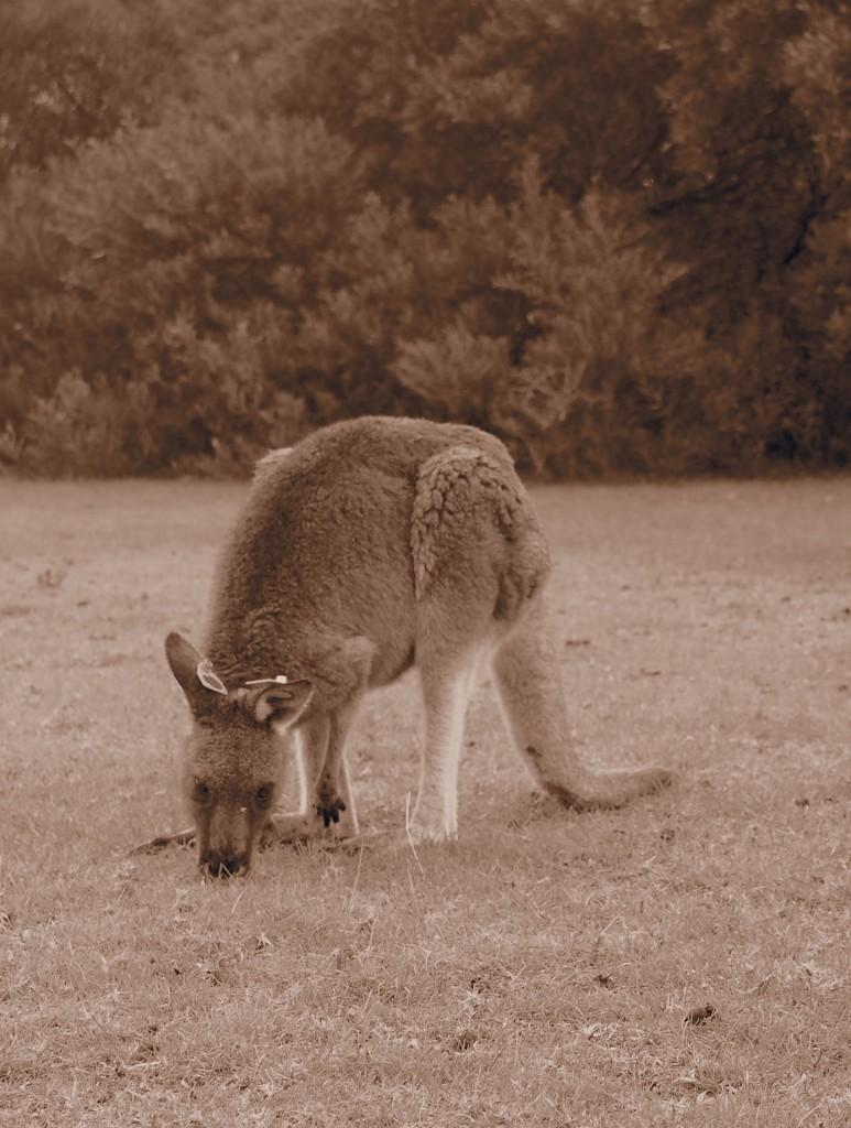 Kangaroo, Wilsons Promontory, Australia